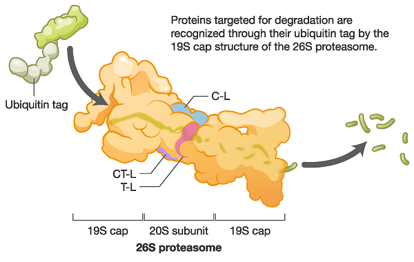 Ubiquitin proteasome pathway